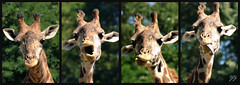 The many faces of the giraffe......... (astanse(Angela Stansell)) Tags: food zoo faces south august upstate giraffes carolina chewing angela making 2009 greenville thrown tothem fwsf gorgeousgreenthursday astanse fabulouslyfunfriday