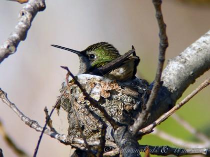 Anna's Hummingbird nest091-3