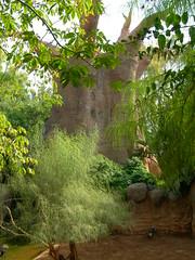 Baobab II