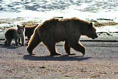 A walk on the Beach (Len Radin) Tags: brown alaska bar oso homer cubs ursus urso radin orso brownbear ursusarctos katmai arctos halobay colorphotoaward hallobay saariysqualitypictures drurydrama