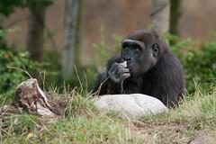 2009-08-13-09h48m50.IMG_5149l (A.J. Haverkamp) Tags: zoo rotterdam blijdorp gorilla thomas dierentuin diergaardeblijdorp westelijkelaaglandgorilla canonef14xiiextender httpwwwdiergaardeblijdorpnl canonef300mmf4lisusmlens dob30122002 pobrotterdamthenetherlands