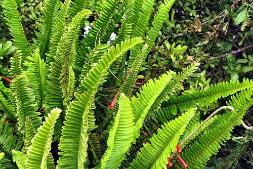 Nephrolepis cordifolia (rq) - 01