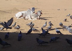 cows, pigeons, sand, shade, low