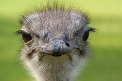 """Blauhalsstrauss - """"Blue-Necked Ostrich"""" - """"Struthio Camelus Australis"""" (Christine Gerhardt) Tags: bird germany deutschland zoo stuttgart vogel strauss wilhelma tierfoto blickkontakt christinegerhardt sigma70300mmf456dgmacro struthiocamelusaustralis blueneckedostrich sonyalpha350 blauhalsstrauss"""