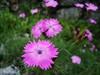 Violet Flower (Lily Raza) Tags: red flower fleur rose garden rouge blossom blumen niceflower voninkazo