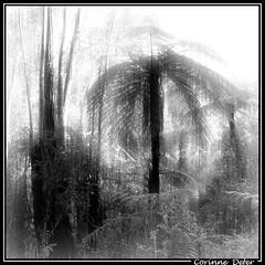 "Madagascar - ""Frisson tropical"" - "" Tropical Shiver "" (Corinne DEFER - DoubleCo) Tags: travel blackandwhite black tree nature noiretblanc rbol  albero arbre madagascar baum  tronc malagasy  madagaskar madagasikara  ilerouge grandele malagasyrepublic madagaskara fougrearborescente  memoriesbook platinumheartaward   democraticrepublicofmadagascar carrfranais madagaskaro madagaskaras  miasbest     20081222madagascar hautsplateauxversranomafana fernarborescente"