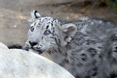 Snow Leopard - ready to pounce