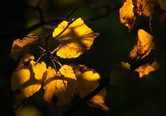 Yellow Leafs Of September (Joni Niemel) Tags: fall yellow glow pentax september leafs sigma105 k10d pentaxk10d