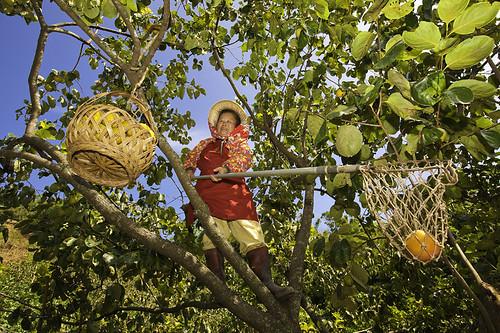 Persimmon (Kaki or Shizi) Fruit Picking 摘柿子 by olvwu | 莫方.