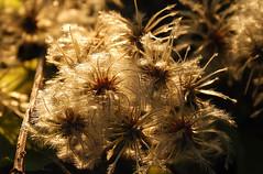 Autumn light fall (Borneev) Tags: autumn sunlight fall nikon seeds romania d100 atmposhere