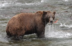 Yummy salmon! (t i g) Tags: bear alaska fishing wildlife bears arl