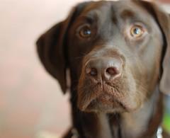 Sauly Boy {Explored 5/2012} (moke076) Tags: favorite dog face animal nose 50mm eyes focus lab flickr dof sweet canine chocolatelab sharp explore crisp labradorretriever snout explored