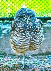 Burrowing Owl (PCsAHoot - Dipping toes in...) Tags: nature animal owl burrowingowl colorsofthesoul