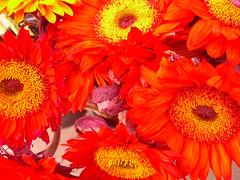 Orange Daisies = Happiness (battyward) Tags: sanfrancisco flowers orange nature floral daisies happy petals bright sunny urbannature bayarea daisy