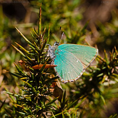 Green Hairstreak.. (Ollie_57) Tags: england macro nature fauna canon butterfly insect spring flora bokeh wildlife may devon 7d teignmouth 2011 greenhairstreak hbw callophrysrubi tamronsp90mm ollie57 sqcrop