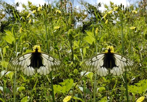 Parnassius citrinarius, stereo parallel view