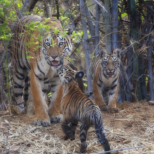 Yendbodi Waterhole tigress with cubs