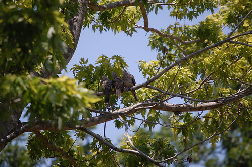A young inca dove family sticks together