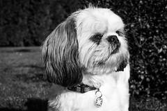 My Little Dog (Gaetan682) Tags: e emount passion fav favoris followme blackandwhite bw noiretblanc monochrome nb soleil sun winter kit pz sel 1650 love 6000 alpha sony dog