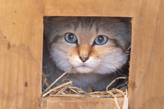 Sand Cat (Gary J Morris) Tags: sandcat exmoor zoo zoology sand cat 11022017 gary morris canon 7d mkii canon7dmkii
