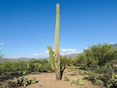 Gladness at its tall height. (Tim Kiser) Tags: 2015 20151003 arizona arizonalandscape carnegiea carnegieagigantea cylindropuntia img4263 micaviewtrail october october2015 opuntia parkinsonia pimacounty pimacountyarizona rinconmountaindistrict rinconmountaindistrictlandscape rinconmountaindistrictofsaguaronationalpark saguaronationalpark saguaronationalparkeast saguaronationalparklandscape saguaroparkeast tucsonmetropolitanarea cactus cholla desert desertlandscape desertplants dirt distantmountains gravel landscape nationalpark nationalparklandscape paloverde paloverdetree park pricklypear pricklypearcactus saguaro saguarolandscape southarizona southeastarizona southeasternarizona southernarizona sunny sunnylandscape tallsaguaro view tucson unitedstates us