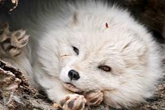 [フリー画像] [動物写真] [哺乳類] [イヌ科] [狐/キツネ] [白キツネ]      [フリー素材]