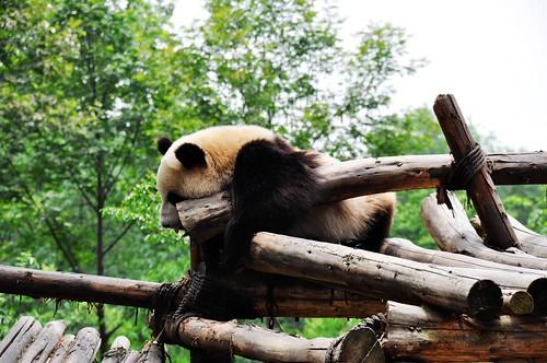 Panda 084