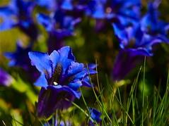 Genziane (mauroponti) Tags: flowers blue primavera spring ticino fiori genziana montagna cimetta cardada mauroponti