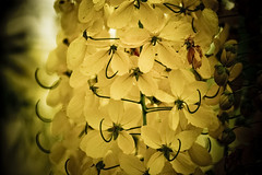 Cassia fistula (ddsnet) Tags: shower sony 350 cassia cassiafistula  fistula tree    goldenshowertree golden     350     cassia fistula