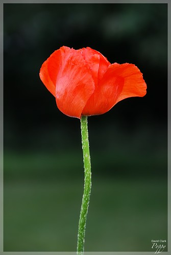A bright red-orange poppy on a bright green stem, with a deep green background.
