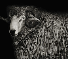 Ovis aries domestica (zeissizm) Tags: bw monochrome animal canon eos eyes sheep merino 100400mm vita aries domestica ovis 5dmarkii 5dmark2 ef100400mmf4556lusm