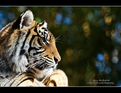 Eye of the Tiger (Barry McGrath) Tags: friends animals june zoo wildlife tiger australia 2009 australiazoo canonef70200mmf28lisusm anawesomeshot barrymcg bazzymcg