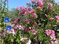 Colori di Sardegna (10) (zipckr) Tags: sardegna flowers colors sardinia colours bougainvillea fiori colori oleander cagliari pula buganvillea oleandro
