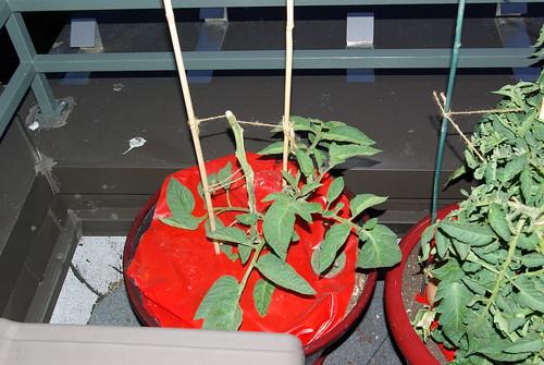 2009-06-17 Zombie Tomato