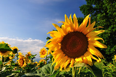 Sunflowers (Christoph Zurbuchen) Tags: blue sunset summer sky orange cloud sun sunlight plant flower green nature beautiful beauty field silhouette yellow rural landscape outside outdoors schweiz switzerland nikon colorful suisse natural bright vibrant country peak sunny scene panoramic clear sunflowers plantation sunflower paysage majestic genve campagne paysages tranquil tournesols d90 genevoise beautifulphoto fantasticflower theunforgettablepictures platinumpeaceaward flickrunitedaward