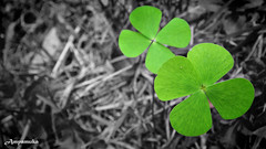 Lucky To U /  (AmpamukA) Tags: wallpaper green leaves four leaf blessing lucky clover rama luang suan quadrifolia marsilea  ampamuka
