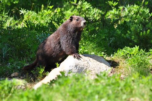 Vancouver Island Marmot Description