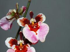 Equitant Oncidium - Tolumnia Orchid