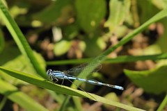 _DSC0651Anx2 (edk7) Tags: lake insect dragonfly bigma bannister on d300
