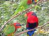 Rainbow Keets