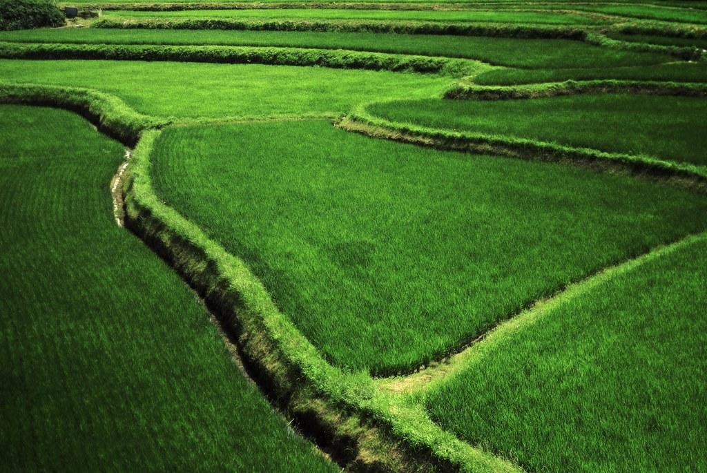 Rice Field on Summer