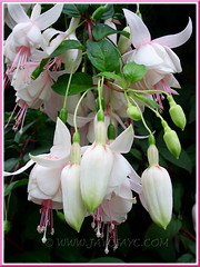 Fuchsia 'Annabel' with double flowers in white, tinged with pink, growing at the Cactus Valley in Cameron Highlands, Malaysia