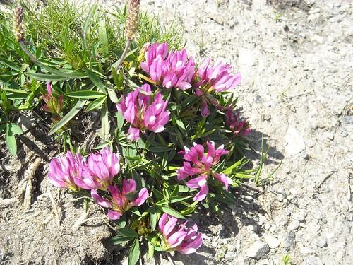 Alpine Clover (Trifolium alpinium)