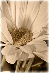 It's the most unhappy people who most fear change. - Mignon McLaughlin (E_TAVARES) Tags: flower sepia canon drops eduardo digitalphotography canonef100mmf28macrousm canoneos5dmarkii etavares