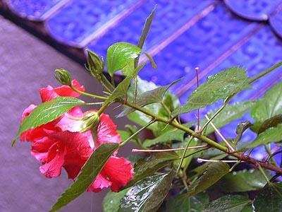 Hibiscus sur tuiles bleues.jpg