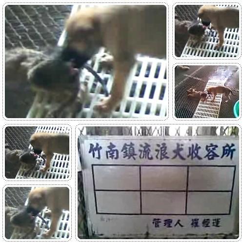 20090812「憤怒破表」竹南收容所又見狗吃狗!無能的主管單位農委會主委你給我滾下台!專養米蟲的政府!