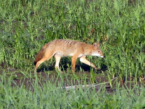Coyote 20090813