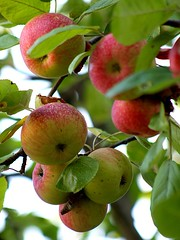Apple Tree (donsutherland1) Tags: summer food ny newyork fruit august apples newrochelle appletree supershot naturewatcher natureselegantshots williambwardschool