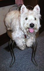 Hurry up and take the picture so I can get down and have my treat!  26/52 (ellenc995) Tags: friends riley chair westie westhighlandwhiteterrier treat challenge toosmall coth supershot abigfave citrit pet100 concordians 100commentgroup memorycorner memorycornerportraits 52weeksfordogs bestofspecialpetportraits ldrpc2010 naturallywonderful 5wonderwall thesunshinegroup sunrays5