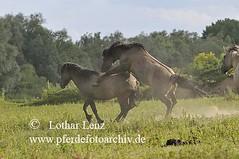 _LL13210 (Lothar Lenz) Tags: horse caballo cheval cavalo pferd hest equus niederlande paard gelderland hst hengst konik hestur herde konj hobu zirgs hengste aufreiten beweidung fotolotharlenz hengstkampf